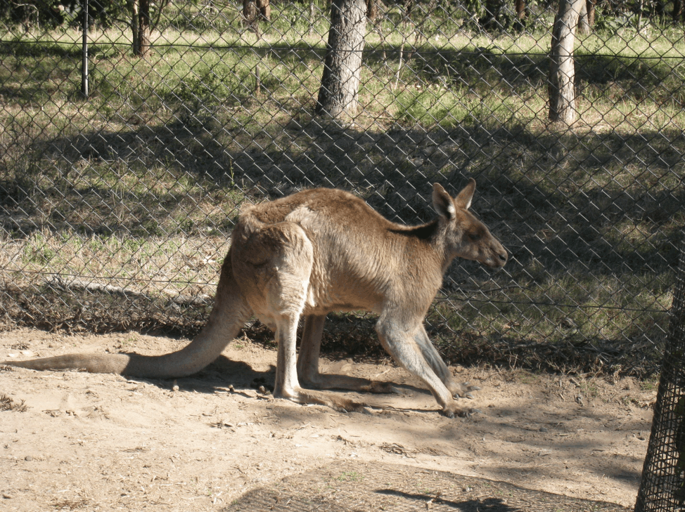 Kangaroo in Brisbane Zoo - Clow Family Update